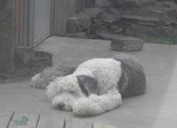 Barney the dog sleeping